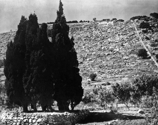 cypress trees on mt carmel